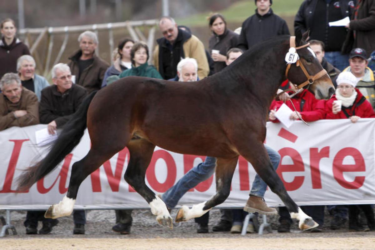 freiberger pferde kaufen schweiz